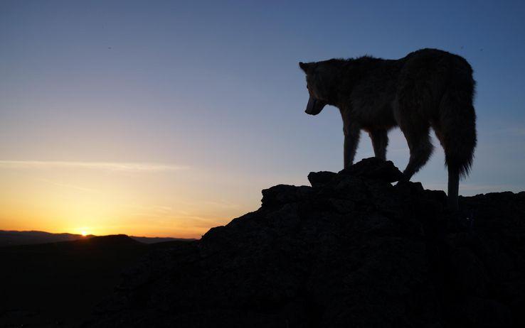 Il ritorno del lupo sulle Alpi